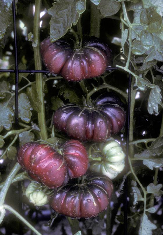 © 2012 Tomato Season Wrap Up by Bill Adams