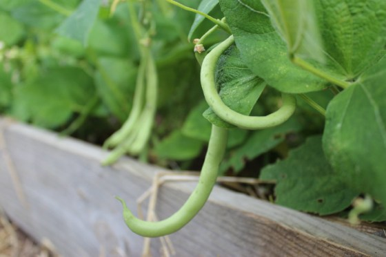 Wait until early March to plant your green beans
