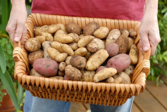 Plant potatoes now for potato harvest in May or June.  Photo by Bruce Leander