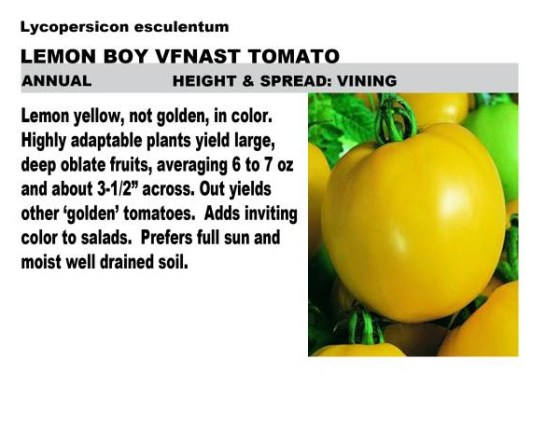 Lemon Boy image from Homestead Nursery @ http://www.homesteadnurserywi.com/