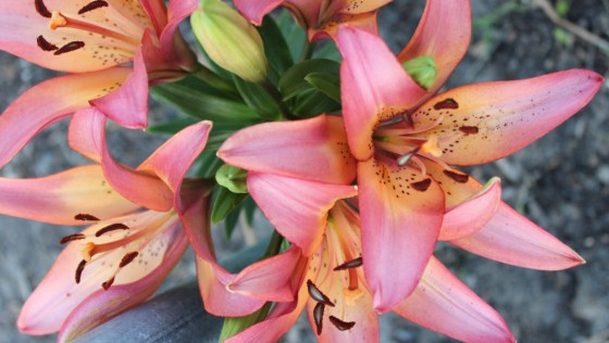 """My """"surprise"""" lilies"""