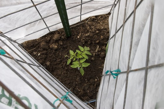 Sturdy cages allow you to apply shade cloth that will protect your young plants from cold, wind and some bug damage