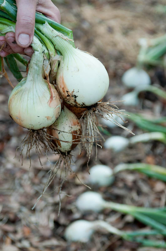 Onions ready for harvest.  Photo by Bruce Leander