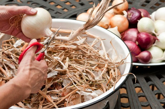 After drying, onions tops and roots are trimmed in preparation for storage.  Photo by Bruce Leander
