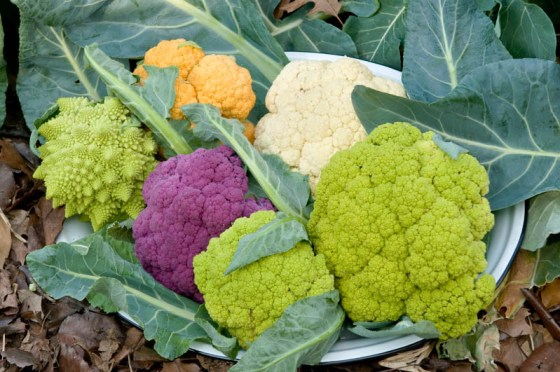 A colorful cauliflower harvest includes 'Cheddar', 'Snow Crown', Graffiti', 'Green Harmony' and 'Veronica'.  Photo by Bruce Leander