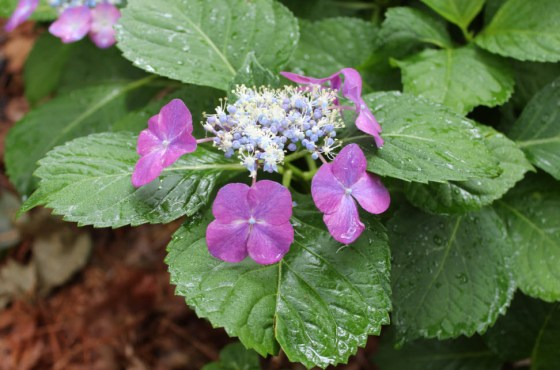 Hydrangeas thrive in the acidic soil of Nacadoches,