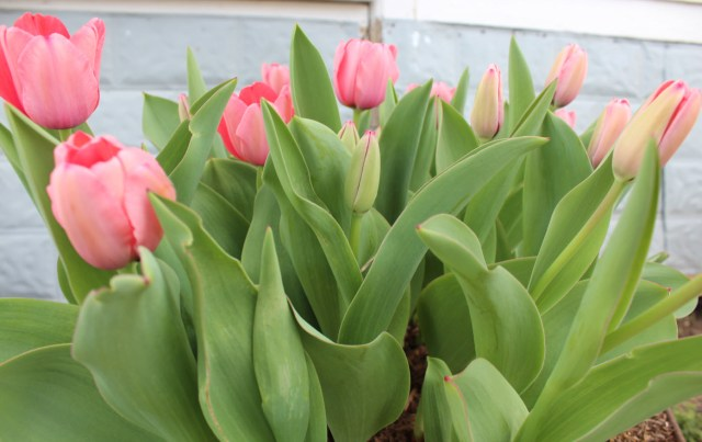 Texas_Tulip_4