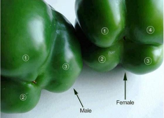 Bell-Pepper-Myth