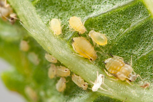 Aphids-3