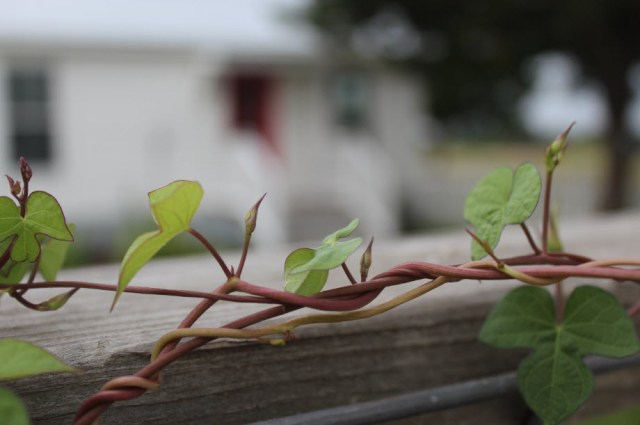 bindweed-blooms