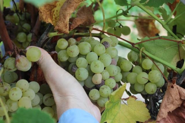 blanc-du-bois-grapes-2
