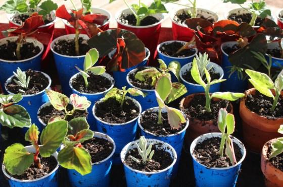 rooting-cuttings