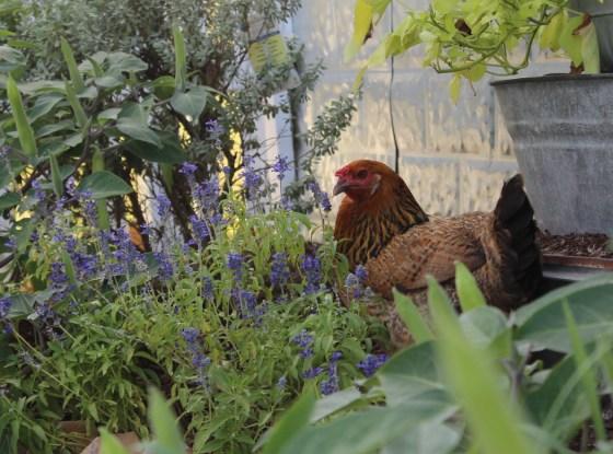 chicken-in-garden
