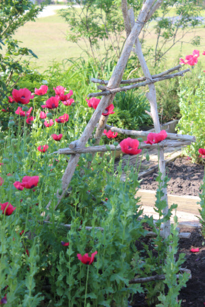 poppies-potager