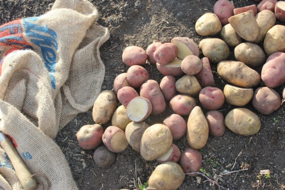 planting-potatoes-1