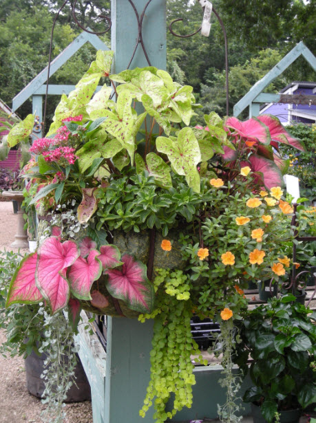 Add caladiums to your potted arrangements to making stunning floral displays