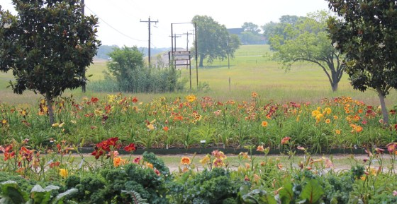 Magnolia Hill Farm in Brenham has 0ver 800 cultivars of daylilies.