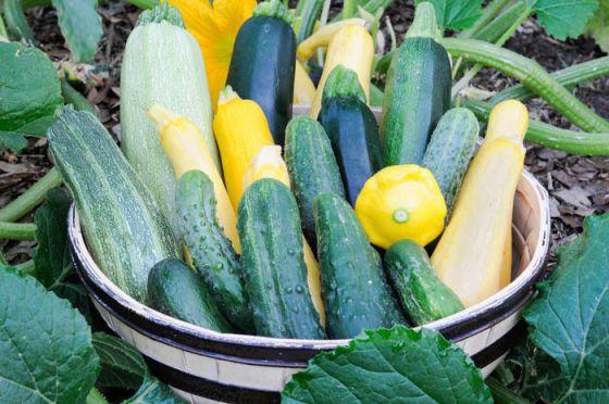 Cucumbers, melons, pumpkins, squash