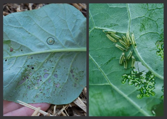 Control soft bodied pests like cabbage worms with Spinosad