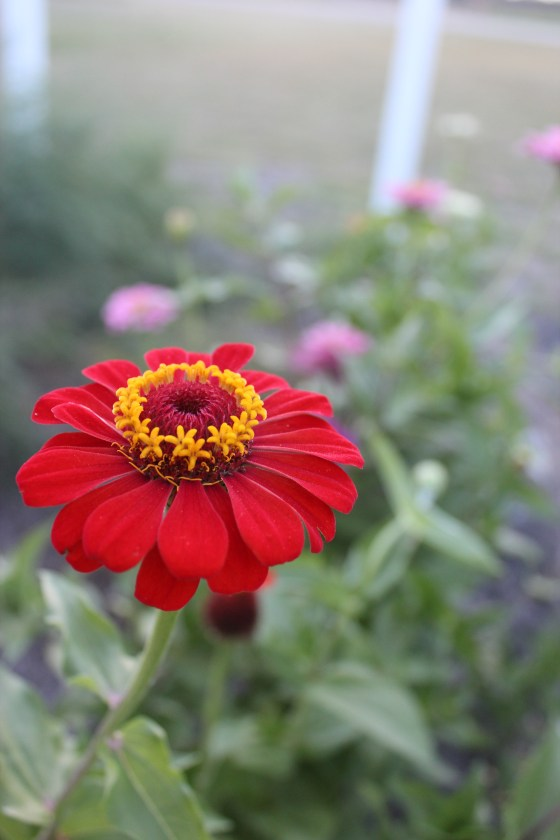 zinnia-bug-trap
