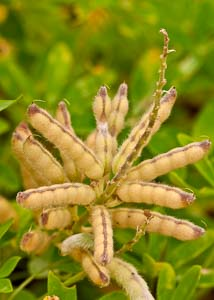 This shot from Bruce Leander shows bluebonnet pods that are mature enough for harvest