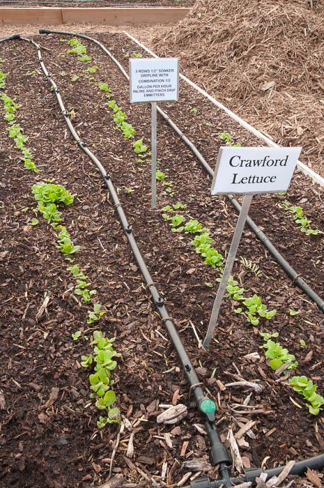 Crawford-Lettuce-2