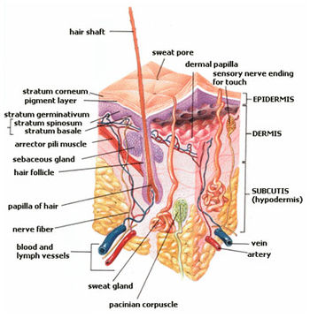 Anatomy of the human skin with English languag...