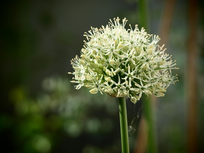 Riesen Allium Pflanzen Allium 'mount Everest'