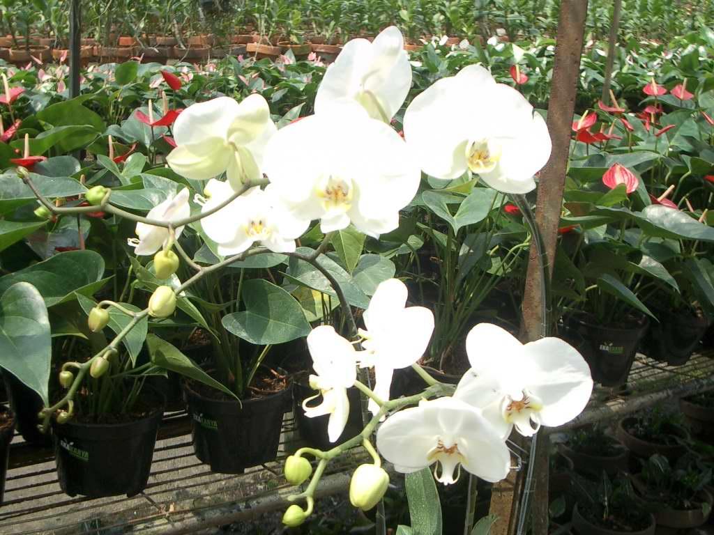 Bisnis Budidaya Tanaman Hias Bunga Anggrek Orchid Aglaonema Adenium
