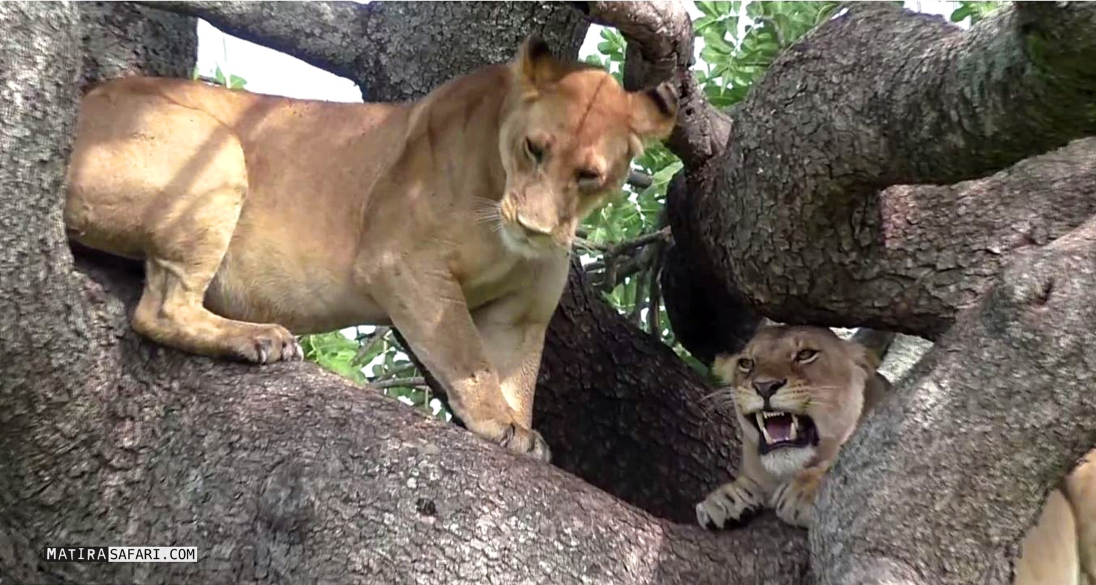 Big Sofa Safari Sandriver Lion Females Fight For The Best Place In The Tree