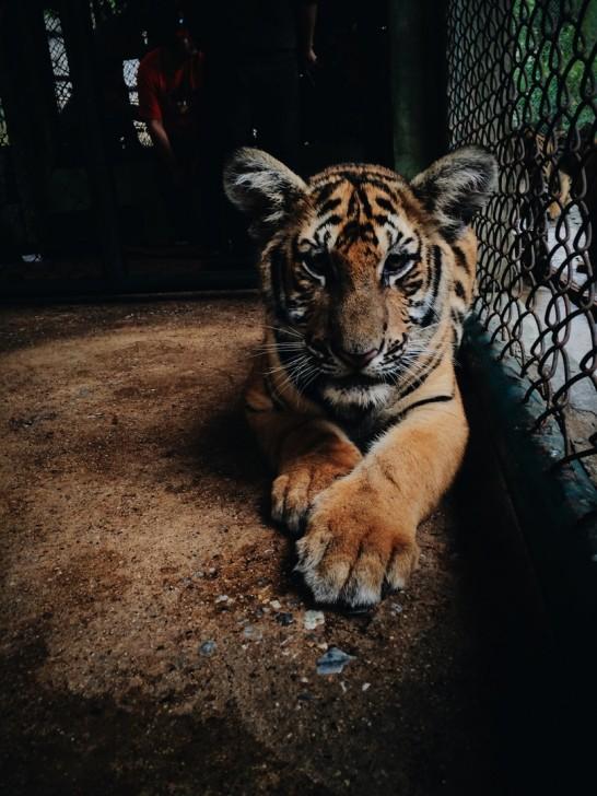 img_檻の中の虎