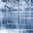 冬の池と鴨
