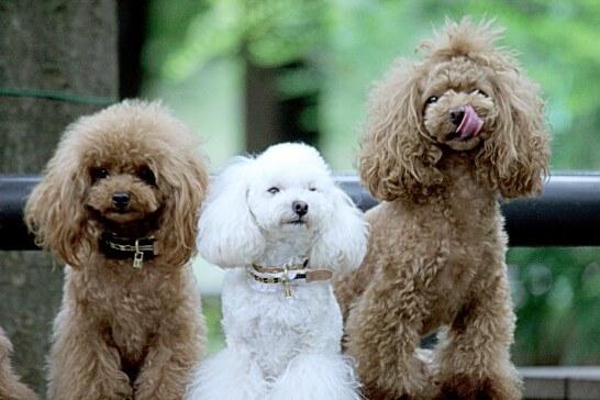 3匹のトイプードル(犬)