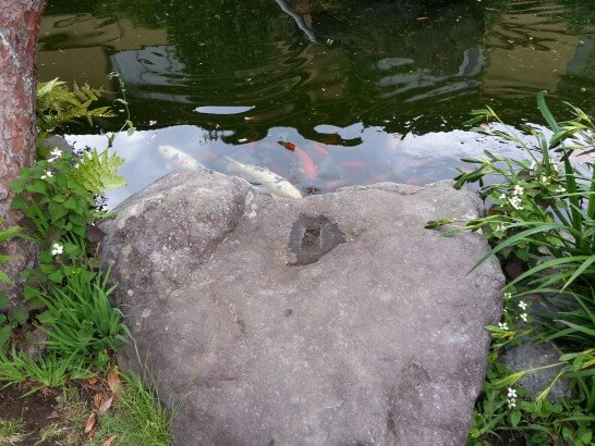界伊東の池の鯉