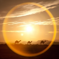 Camels against the sun and the sun's halo