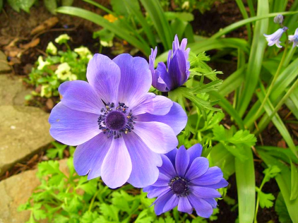 Fall Flowers Wallpaper Anemone Pasque Hepatica And Buttercup Flowers Young
