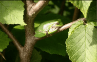 Ros Tree frog