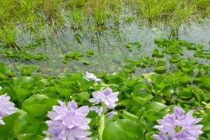 water hyacinth sliderbox