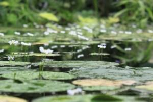 Lily pads Arboretum