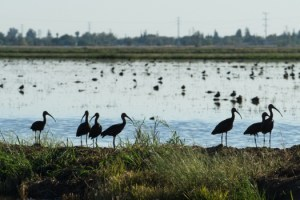 Birds populate a recently harvested rice fields off Erle Road in Yuba County. (October 8th, 2014)