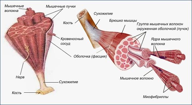 Мышца_строение