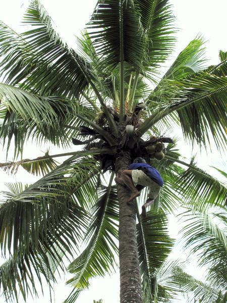 Пококрение кокосовой пальмы