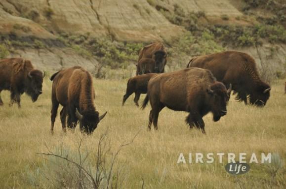 TRNP bison herd