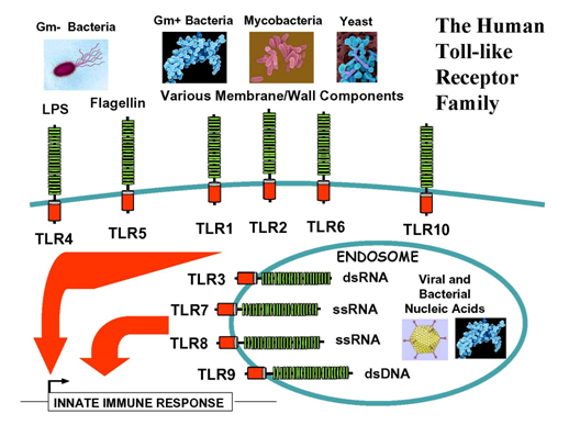 科学网-转载zzToll-like receptors (TLRs) in the innate immune