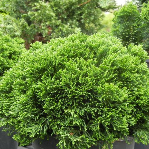 Medium Of Dwarf Hinoki Cypress