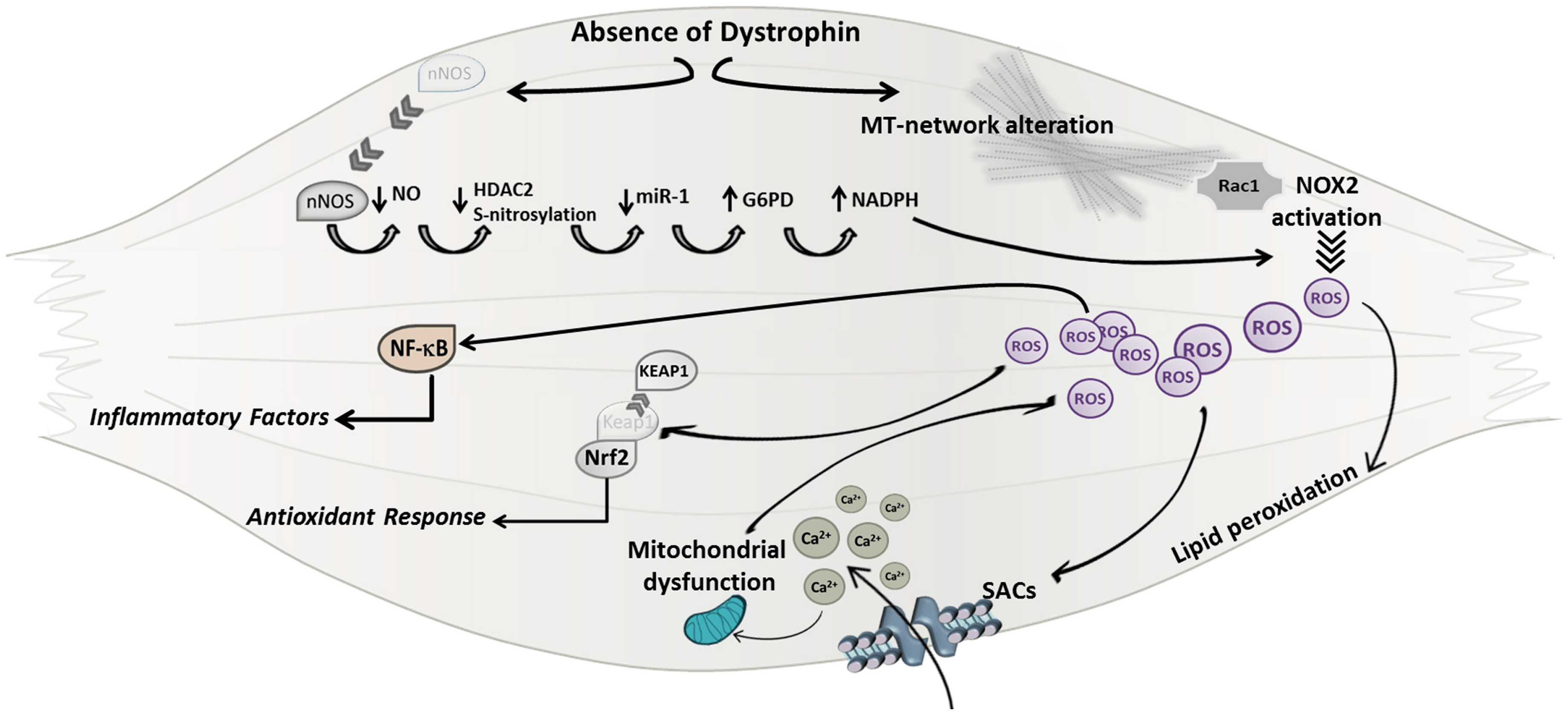 Duchenne Muscular Dystrophy Review Jfmk Free Full Text Insights Into The Pathogenic