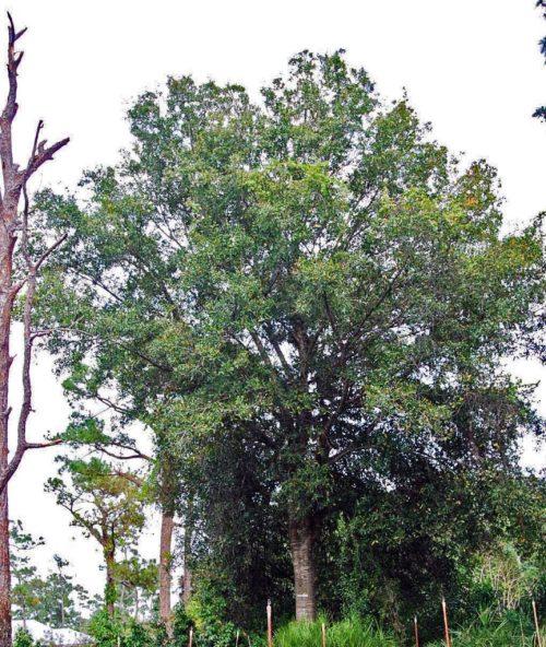 Medium Of Laurel Oak Tree