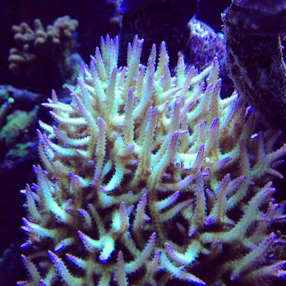 Dragon Ice Sps Corals - Me Coral