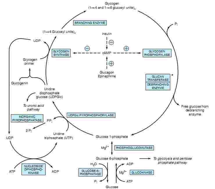 Glycogen Metabolism and Glycogen storage Diseases MEDCHROME