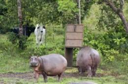 hipopotamos_Escobar